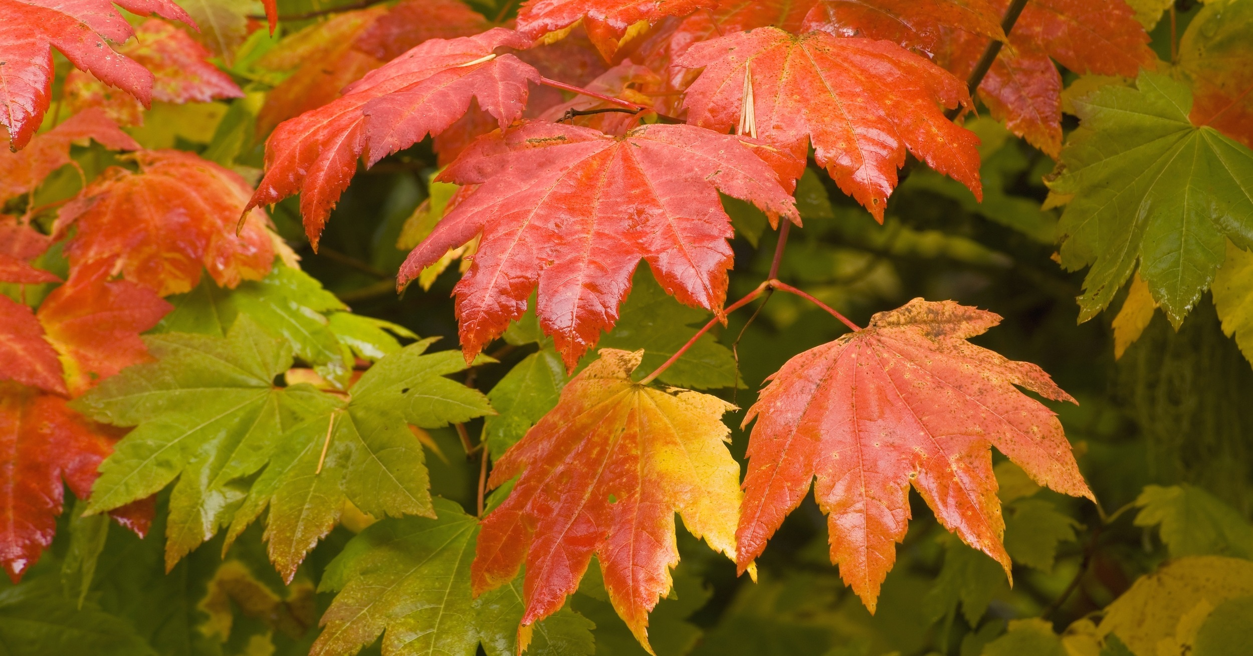 Vine Maple: A Less Fussy, Equally Beautiful Option