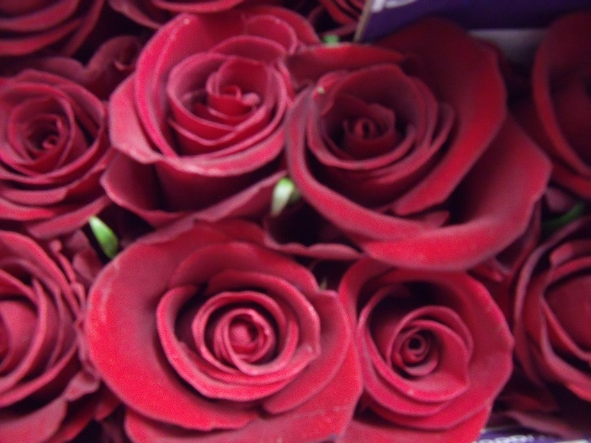 Forever Young Roses