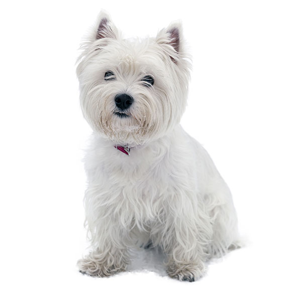 West Highland White Terrier Breed Information and Characteristics ...