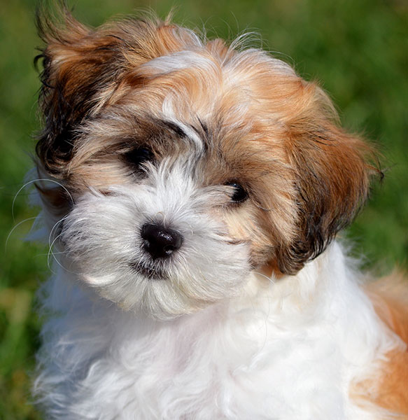 yorkie puppies for sale in richmond va shichon breed characteristics puppyspot 7399