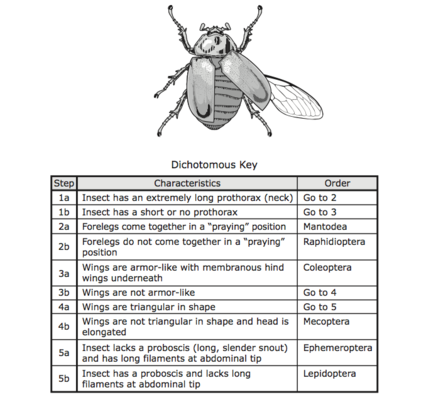 Worksheet Dichotomous Key Worksheet pictures insect dichotomous key worksheet kaessey collection photos kaessey