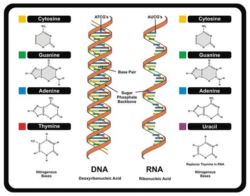 #9 DNA, RNA, & Protein Synthesis Quiz Quiz - Quizizz