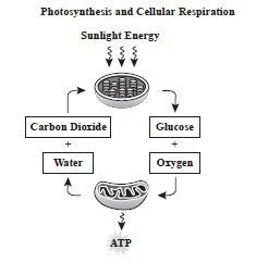 Describe the relationship, in terms of evolution, between photosynthesis and respiration?