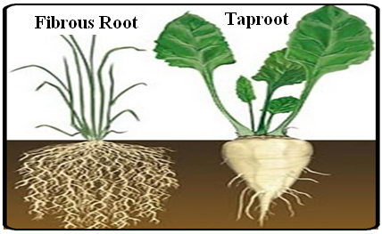 Taproot Plant Examples