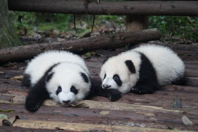 Loving Pandas