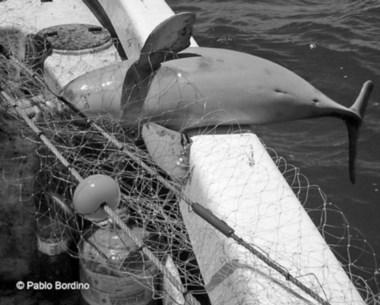 Captura. El delfín oscuro es una de las especies amenazadas por la flota.