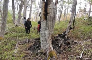 Quebrado. Uno de los árboles del bosque nativo que según los primeros datos fue alcanzado por un rayo.