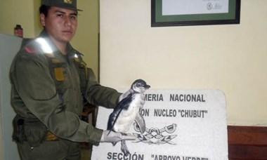 Después de rescatarlo, el pingüino fue liberado en su hábitat natural.
