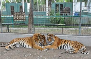 El Zoológico de Rawson se caracterizó por sus especies exóticas, como por ejemplo tres tigres de Bengala.