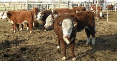 Ventajas comparativas. Aseguran que el valle tiene potencial para aumentar su producción de carne vacuna.