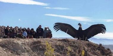 Liberación. Se trata de pichones, tres machos y una hembra, que serán soltados en Sierra Pailemán.