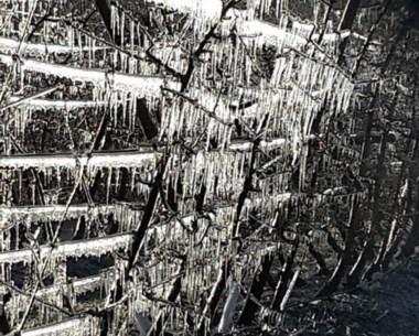 Monte congelado. Los cerezos sufrieron  por las bajas temperaturas