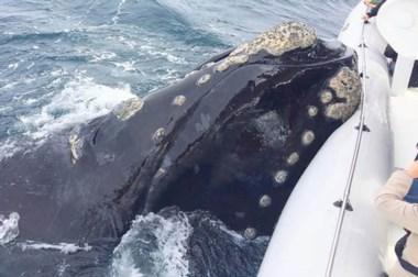 La ballena se posó sobre el pontón de la embarcación y luego se fue.