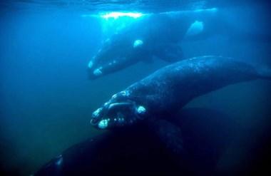 Las ballenas tienen relaciones complejas y un lenguaje particular