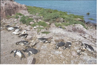 Los individuos muertos representan aproximadamente el 12% de la población reproductiva de esta isla. (Foto: Crónica)