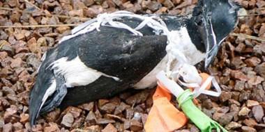 Las aves no sólo padecen la  ingesta de plásticos. Hay casos donde  los filamentos envuelven a los animales