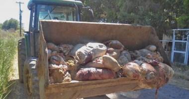 Un tractor cargó con una pala los restos que los delincuentes dejaron luego de faenar los novillos.