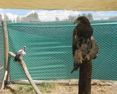 Águilas Moras, Jotes, un Carancho y un Chimango. Serán liberados.