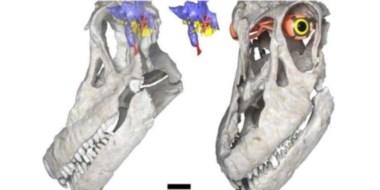 Antes de este decubrimiento, sólo existían en el mundo otras tres cabezas de titanosaurio.
