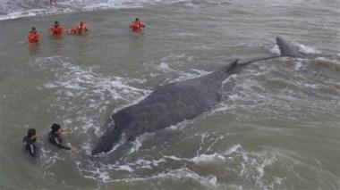 La ballena fue rescatada hace dos días, pero a las horas apareció muerta (Fuente Telam)