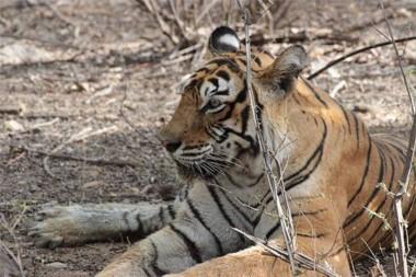 Machli, la tigresa más fotografiada del mundo, muere a los 19 años.