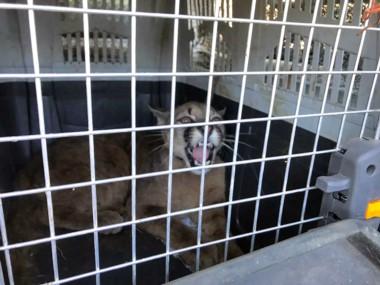 El animal fue rescatado, trasladado a la base y evalúan enviarlo a alguna reserva o liberarlo en su hábitat natural.