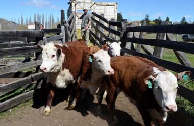 Ayer fue el día del ingreso de animales bovinos al predio de la rural, con labor del Jurado de Admisión.
