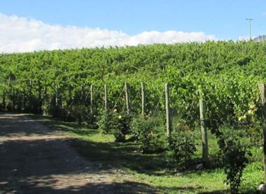 Los nuevos productores de vino en Chubut empezarían la comercialización a partir del año que viene.