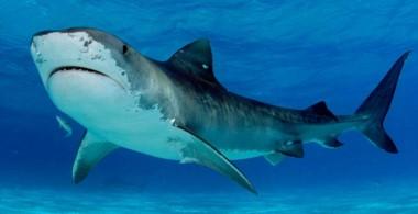 Un enorme tiburón tigre habría sido el responsable de la muerte del joven bañista en una playa de Cuba.