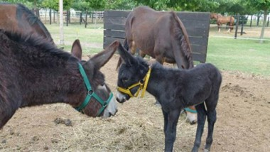 Inédito logro en Río Cuarto: el primer burro de América nacido de una mula.