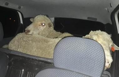 Los corderos habían sido robados de la chacra 105 de la jurisdicción de Trelew. Dos detenidos in fraganti.