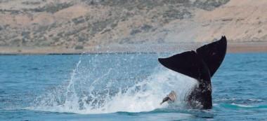 Momento exacto en el que una de las orcas observadas golpea un cormorán, muy cerca de la costa.