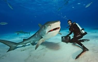 Comparación de un tiburón tigre con una persona. Un animal como este acabó con la vida de la ejecutiva el jueves pasado.