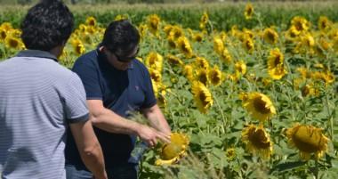 Girasoles. Junto al maíz y la cebadas son los cultivos que se están probando en la localidad de 28 de Julio.