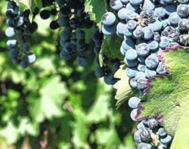 """Gualjaina se unirá a la """"Ruta del vino"""", con factores a favor, como el clima y la fertilidad de las tierras."""