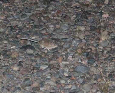 Imagen de uno d elos muchos roedores en la costa del V.I.R.CH.