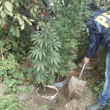 Las plantas de marihuana incautadas miden dos metros de altura.