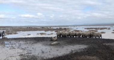 Empantanadas. Las ovejas  hace tres semanas que estàn atrapadas en el colhue huapi