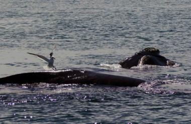 Las expectativas están renovadas para la apertura de una nueva temporada de ballenas.