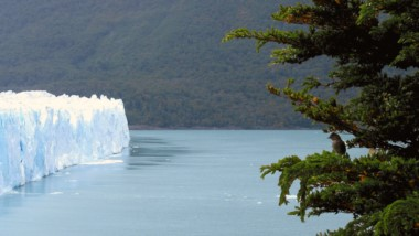Fío-fío en los glaciares. Foto: gentileza investigadora.