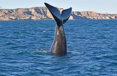 Las ballenas constituyen el gran atractivo que presenta Puerto Madryn en la temporada invernal.