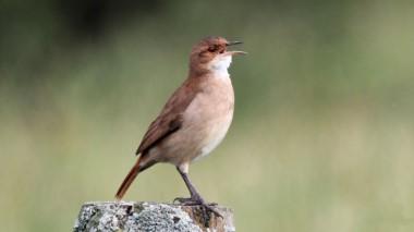 Hornero cantando. foto Silvia Vitale