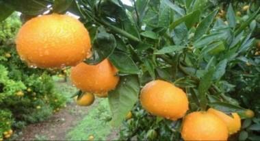 La niña entró junto a su hermano en una quinta donde había plantaciones de cítricos que habrían sido fumigadas con plaguicidas. Comió una mandarina y se descompensó.