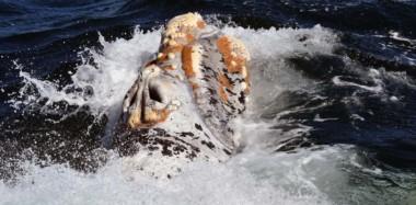 Las ballenas francas tienen en sus cabezas un patrón de callosidades único en cada individuo y que se mantiene durante toda su vida.