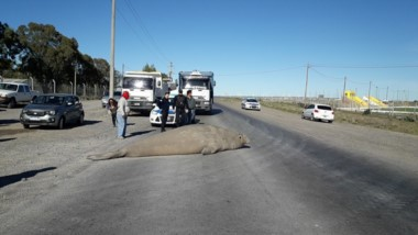 Con ayuda policial cortaron el tránsito para que pasara el animal (foto Miguel Vásquez)