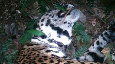 El felino era una hembra adulta pero joven, que fue fotografiada por cámaras trampas colocadas cuidadosamente en la reserva.