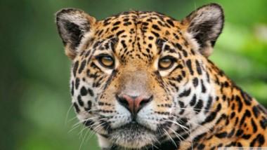 Una de las principales causas de peligro de extinción del yaguareté en nuestro país -donde quedan menos de 250 ejemplares silvestres-, es la cacería y comercialización de sus pieles.