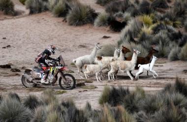 ¡A ver quién corre más! Rebaños de llamas se unen al Rally Dakar 2018.