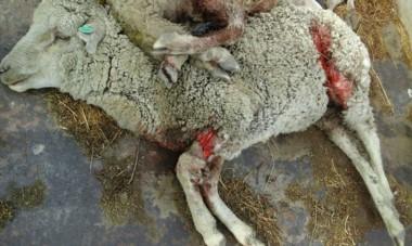 Una menos. La oveja muerta simboliza los centenares de ataques que cada año sufre la hacienda en Chubut y que significan pérdidas millonarias.