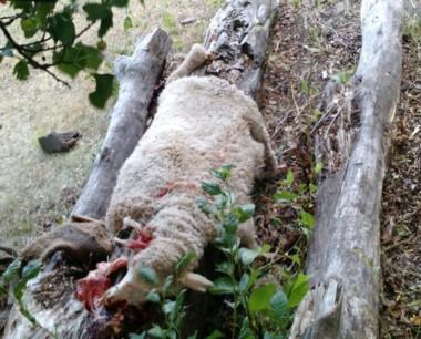 Los corderos fueron hallados faenados y se aprehendió a un sujeto.